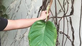 How NOT To Plant Pothos (Epipremnum aureum) Plants!