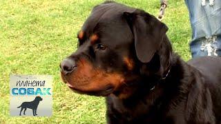 Ротвейлер. Планета собак 🌏 Моя Планета