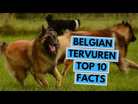 Belgian Tervuren - TOP 10 Interesting Facts