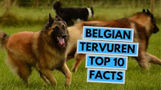 Belgian Tervuren  TOP 10 Interesting Facts