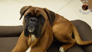 Boxer dog can't wait for washed bed