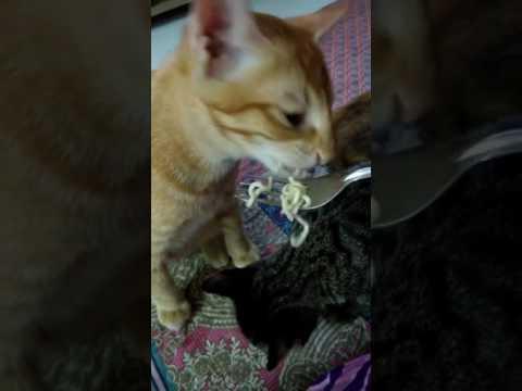 Funny Cat   Eat Instant Noodle