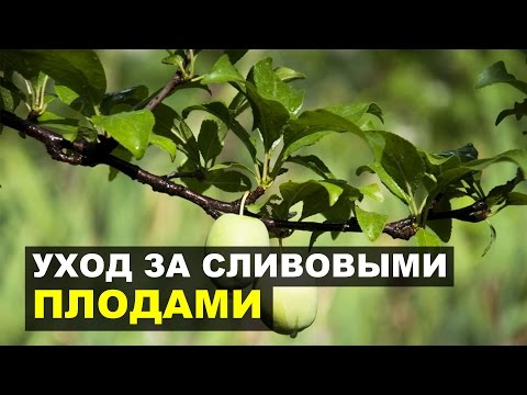 Желтеют листья у сливы: почему, что делать, чем обработать