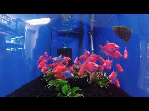 Pink Glofish