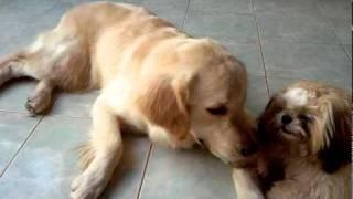 Billions Shih Tzu Dog Stealing Spicy Golden Retriever's Treat.mp4