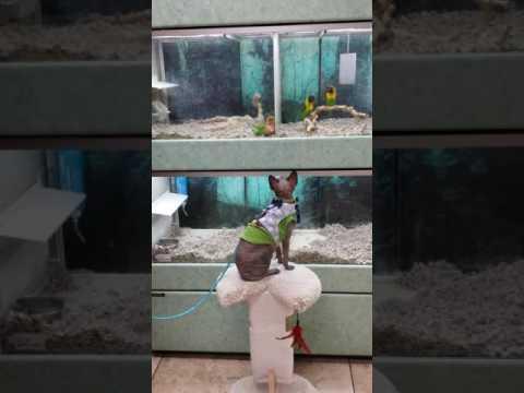 Bird teases Sphynx cat