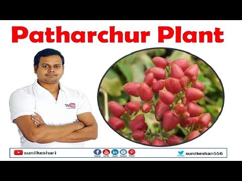 Bryophyllum pinnatum or patharchur plant health forest cure by ayurveda chhattisgarh