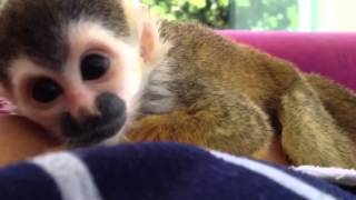 Baby squirrel monkey trying to nap