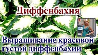видео Диффенбахия