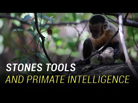 Monkeys And Chimpanzees Have Entered The Stone Age
