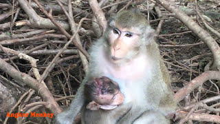 God will survive​ little baby monkey, I hope mum will take care him/her well, Angkor Monkey