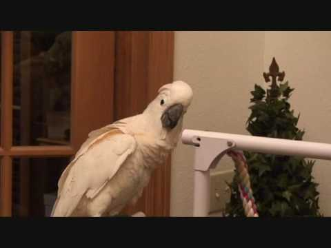 S. Elvis Bird Cockatoo Parrot Talking...