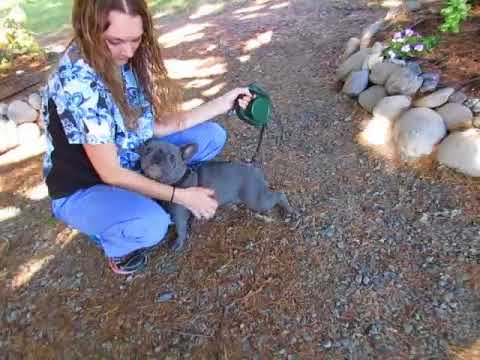 Ivanka Blue French Bulldog Dam - French Bulldog Puppies ~ Oregon French Bulldog Breeders