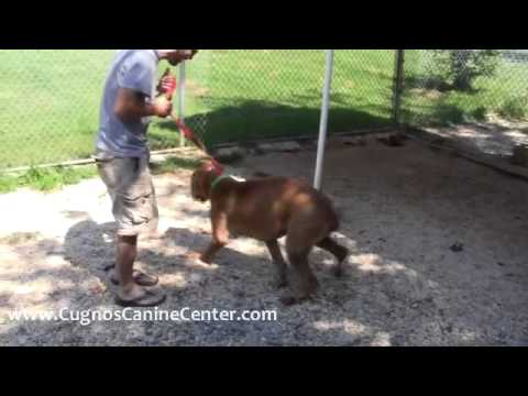 Training an Aggressive Dog - Athena the Cane Corso