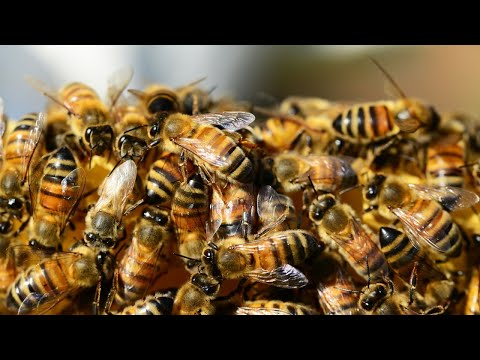 How one common pesticide is killing bees