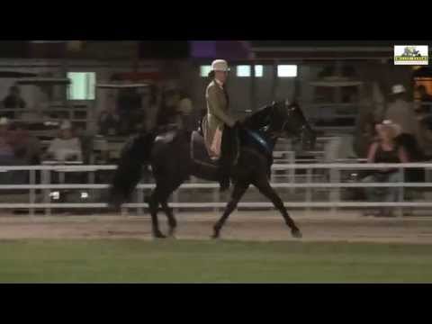 Misouri Fox Trotter Ava 2014 English Pleasure Stallions u. Geldings nC