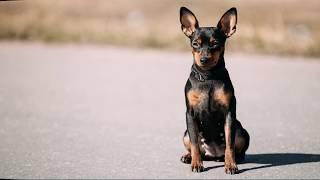 Карликовый пинчер (Miniature Pinscher) - порода собак