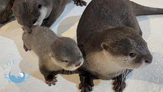 カワウソの赤ちゃん、プールに連れていかれそうになるが・・・? Otter baby was carried to the pool !?