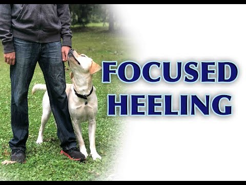 Dog Training Tips: Intermediate Heeling!