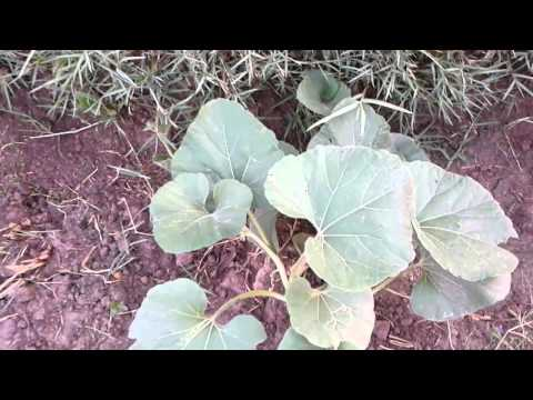 Pakistani Fresh  Vegetables Local name kado