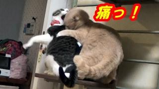 去勢済♂猫だいずにも男の本能が残ってます。♀猫こむぎの背後から首を噛...