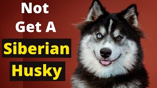 Never Get a Siberian Husky Before watching This