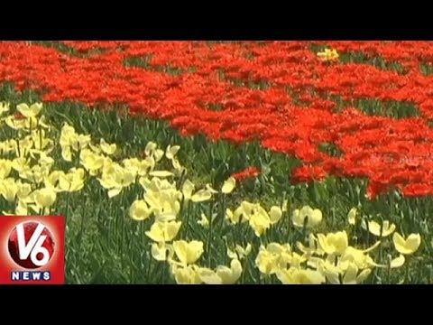 Touristers Attract To Tulip Garden In Jammu And Kashmir | V6 News