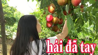 Tập160🇰🇷 Hái Mận , Trái Nhót Hàn Quốc Đã Tay Ở Vườn Nhà Chị Bạn