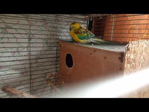 Певчие попугаи.Разведение.Весна 2020/2