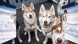 Nguồn gốc của giống chó Husky