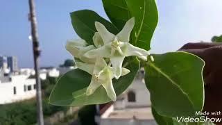 तुलसी के साथ सफेद आंकड़ा का पेड़ लगाकर देखें चमक जाएगी किस्मत