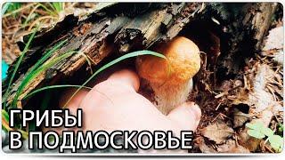 Белые грибы в московской области. Грибные места 2020