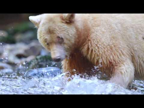 Spirit Bears Of The Great Bear Rainforest