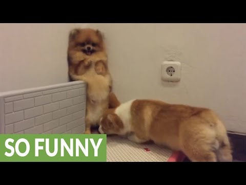 Corgi desperate to play with Pomeranian, backs her into corner