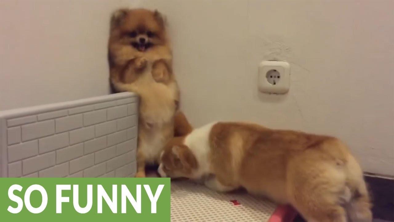 Corgi Desperate To Play With Pomeranian Backs Her Into Corner Youtube