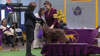 Field Spaniel | Breed Judging 2019