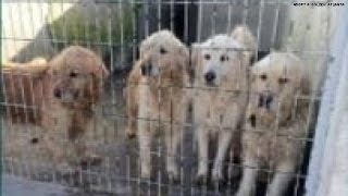 Dozens Of Golden Retrievers Rescued From Turkey!!