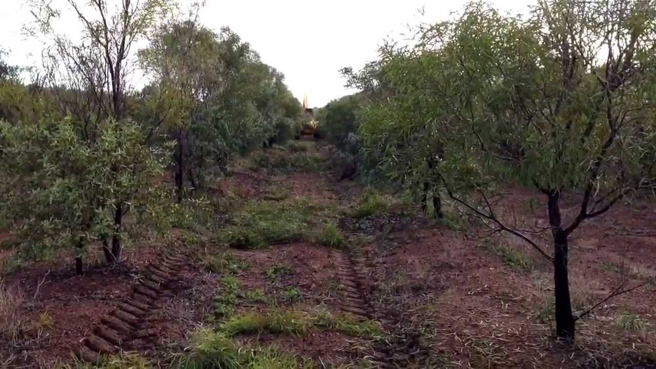 tree topping in sandalwood plantation