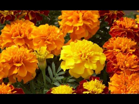 #Бархатцы осенью - мои любимые неприхотливые цветы