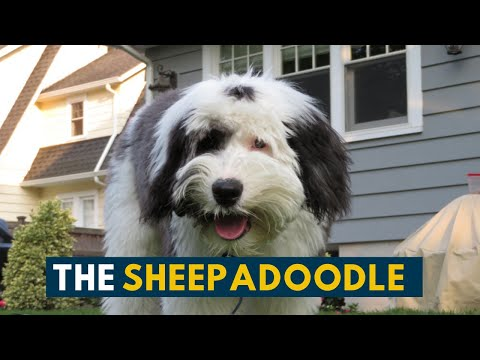 sheepadoodle:-everything-to-know-about-this-fluffy-teddy-bear-dog!