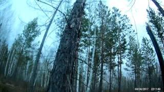 Охота на глухаря на току в Иркутской области 2017