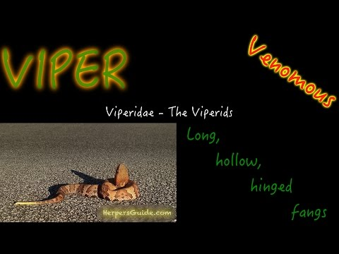 Pit Vipers Of North America