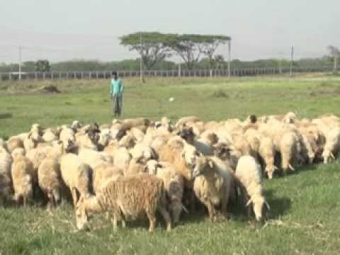 Sheep Raring by Tribal People, BLRI