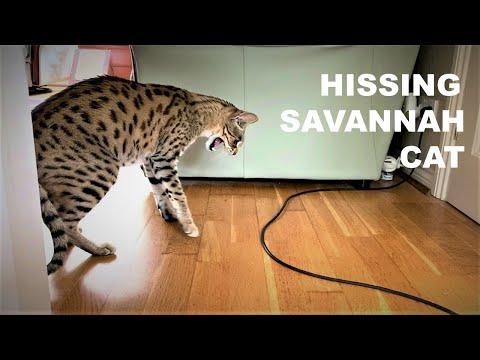 HISSING Savannah Cat