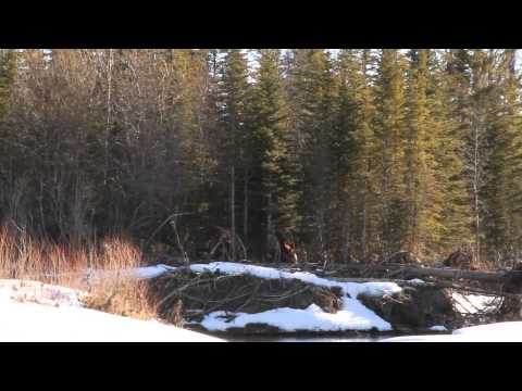 Bigfoot / Sasquatch New Sighting. Calgary AB Canada.
