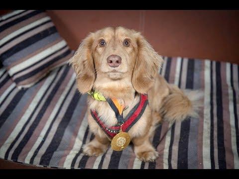 Gus - Miniature Dachshund - 4 Weeks Residential Dog Training