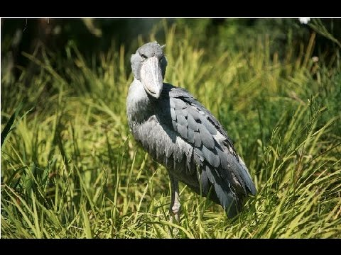 Amazing Facts About The Shoebill Stork