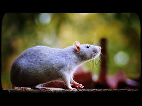 Как играть с крысой
