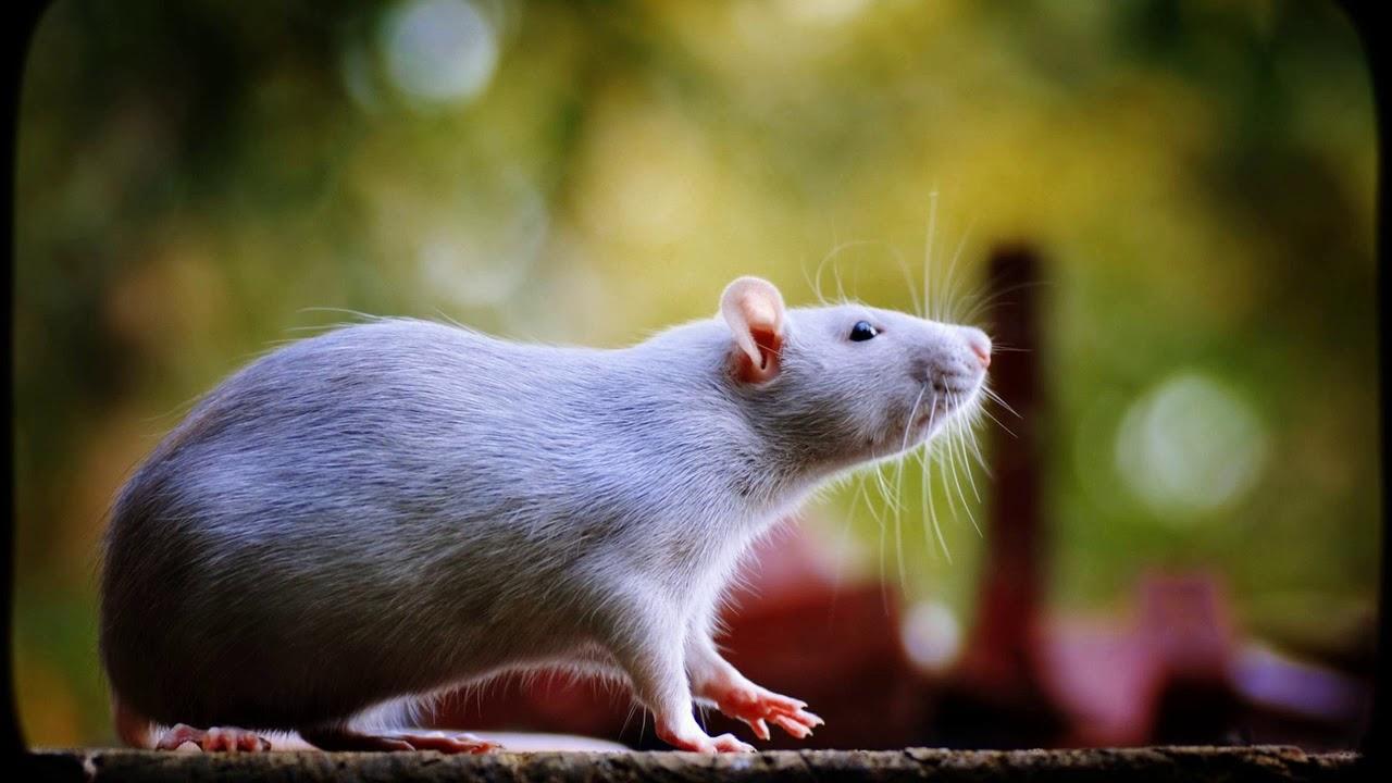 Картинки смешные, крыса картинки красивые