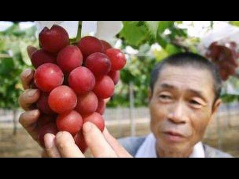 anggur-termahal-di-dunia,-30-butir-seharga-rp.-143juta